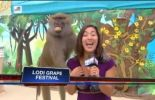 ( VIDEO ) Monkey grabs journalist's breast