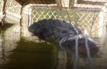600kg crocodile caught in Australia after decade-long hunt